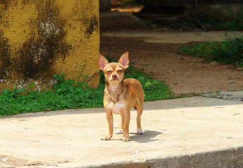 Чихуахуа попала в реестр опасных собак