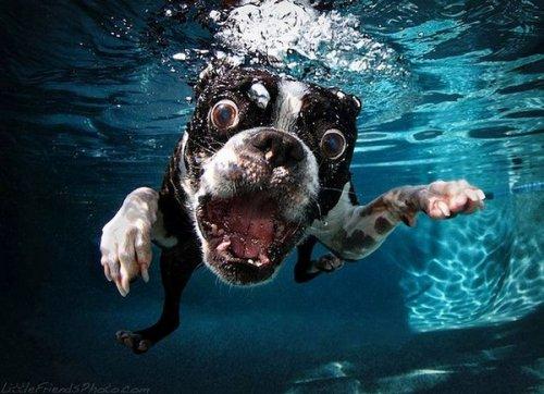 Забавные фотографии собак ныряющих в воду (17 фото)