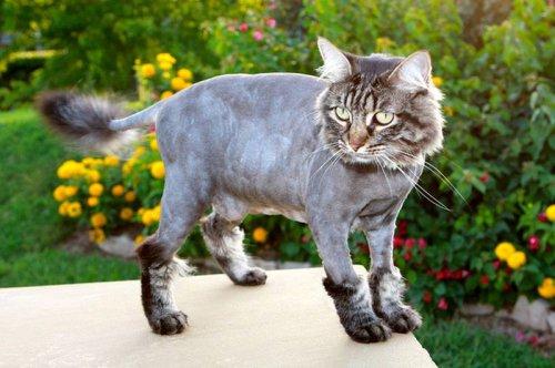 http://klopik.com/uploads/posts/2012-10/thumbs/1351547329_shaved-cats-08.jpg