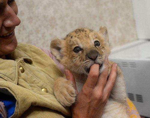 Уникальный котёнок лилигр живет в новосибирском зоопарке (7 фото)