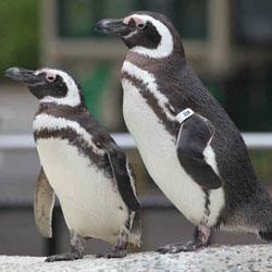 Пингвины - самые верные любовники животного мира?