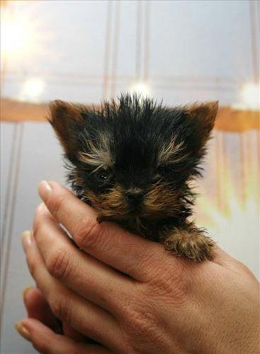 Самая крохотная собачка в мире (11 фото)