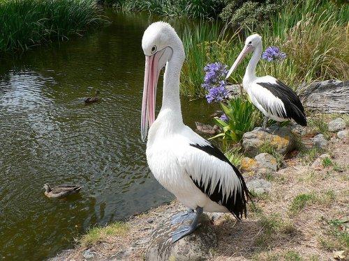 10 фактов о пеликанах (10 фото)