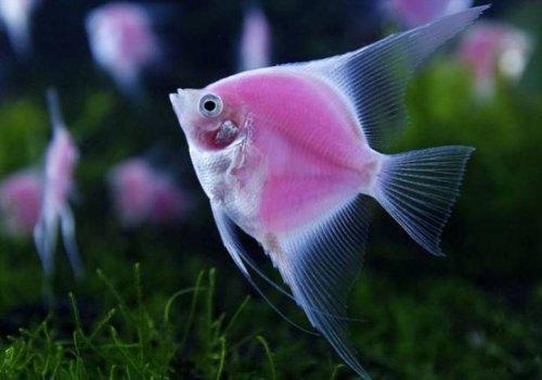 Розовые флуоресцирующие рыбки (3 фото)
