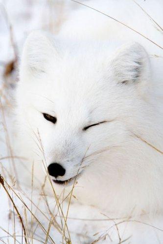 Полярные лисицы в фотографиях Анны Хенли (18 фото)