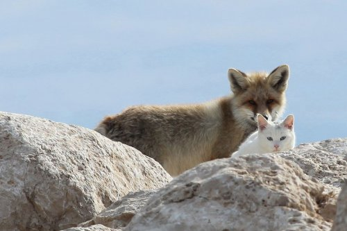 Белый кот и рыжий лис - лучшие друзья (9 фото)