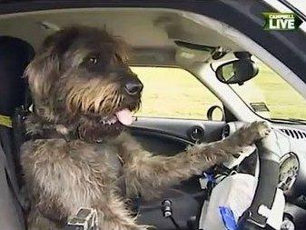 Собаки научились управлять автомобилем за два месяца