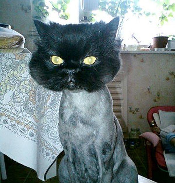 Чем побрить кота в домашних условиях