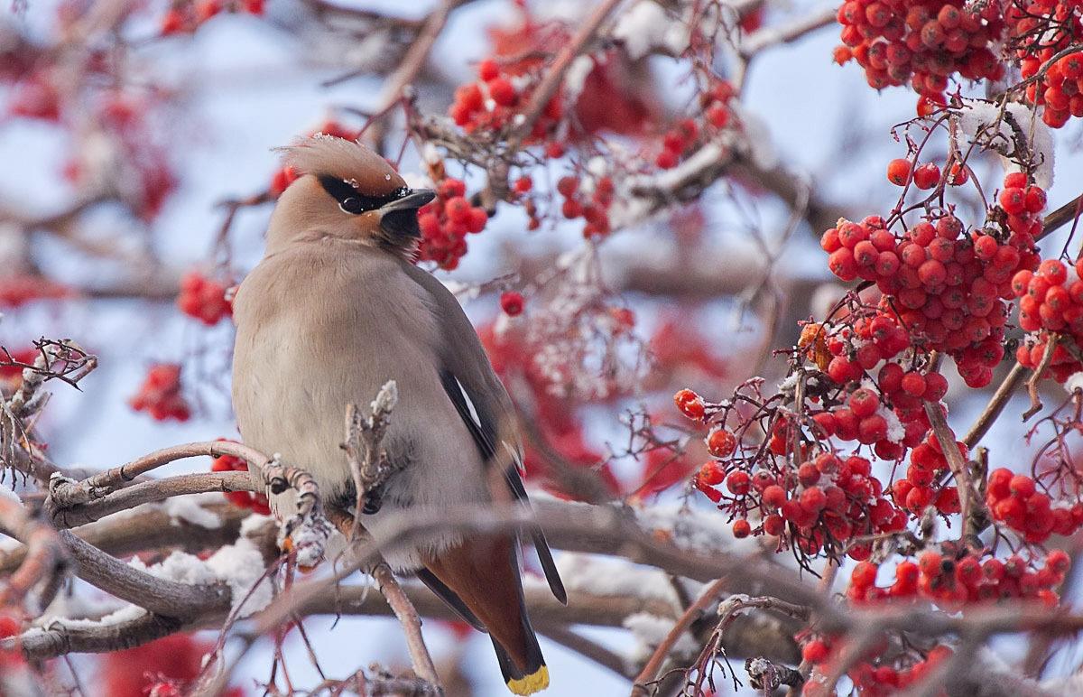 Открытки шаблоны, картинки птицы зимой