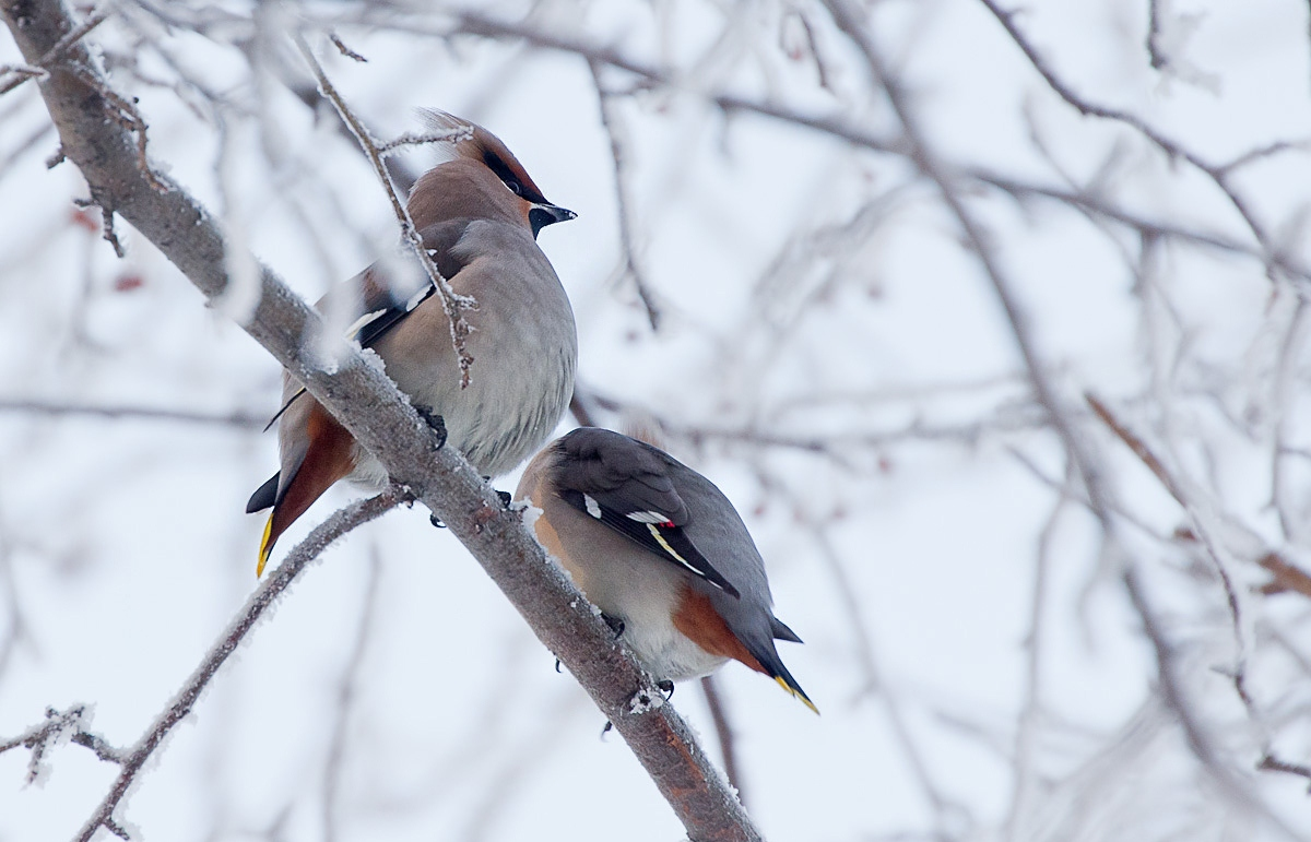 одна солистка птицы зимующие в спб фото якори молоты