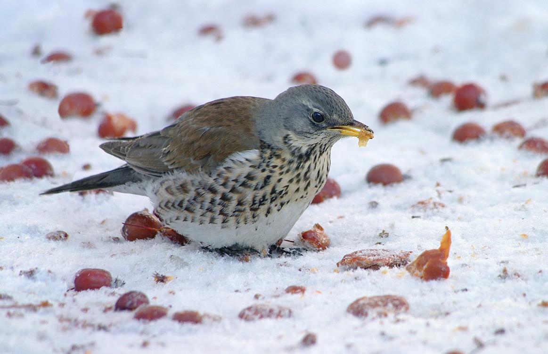 дрозд фото птицы зимой сходить