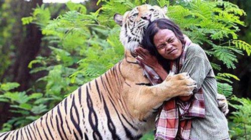 В Индонезии мужчина приручил 150-кг тигра (2 фото+видео)