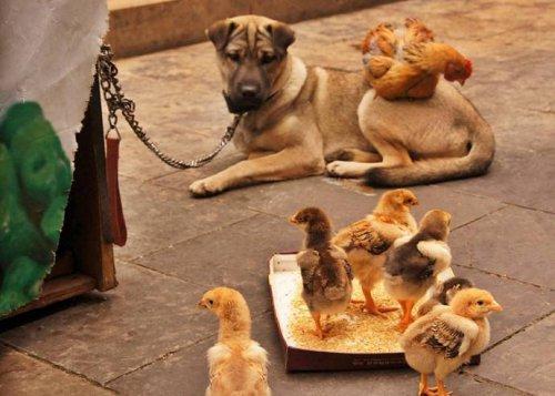 О дружбе курицы и собаки (6 фото)