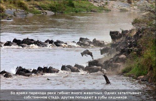 Бегемоты-спасатели (10 фото)