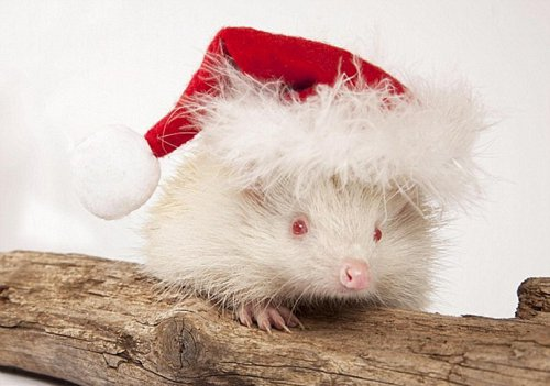 Ёжик-альбинос поздравляет с Рождеством и Новым Годом (4 фото)