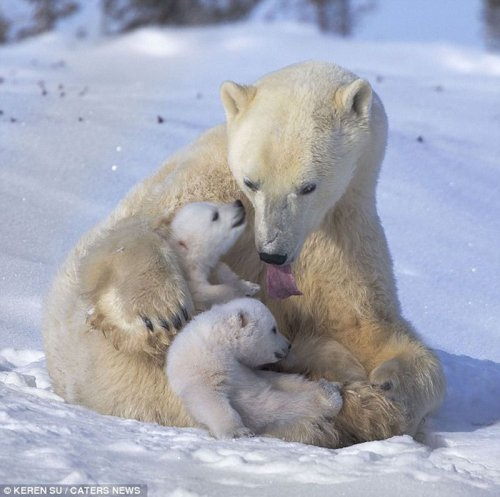 Озорные медвежата на зимней прогулке (9 фото)