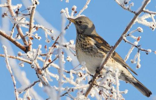 Зимние фотографии птиц (40 фото)