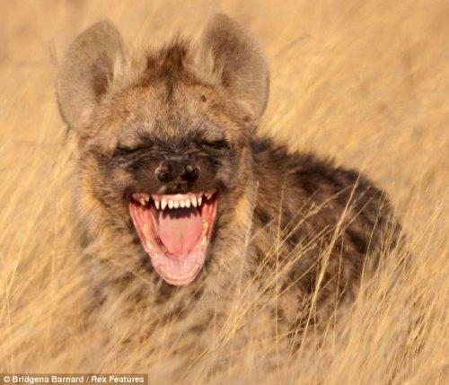 Вы видели как смеётся гиена?