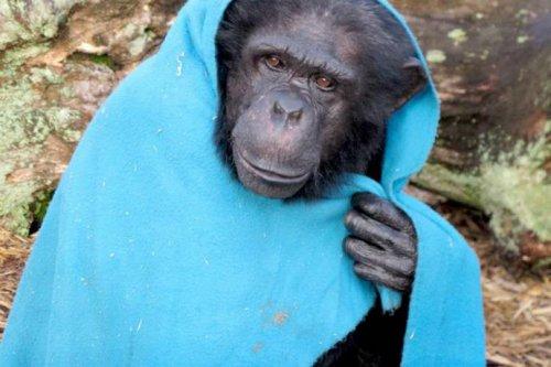 Шимпанзе использует одеяло как одежду от холода (7 фото+видео)