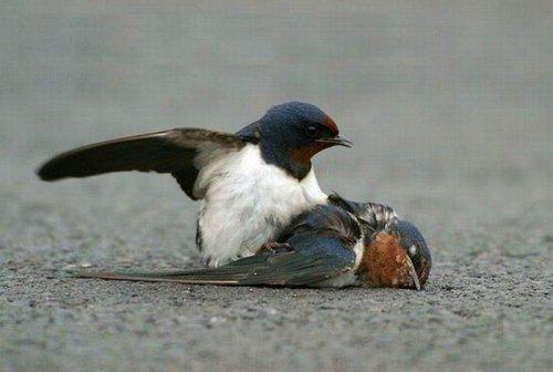 История птичьей верности (6 фото)