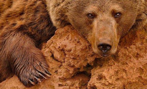 Бурые медведи в дикой природе (9 фото)