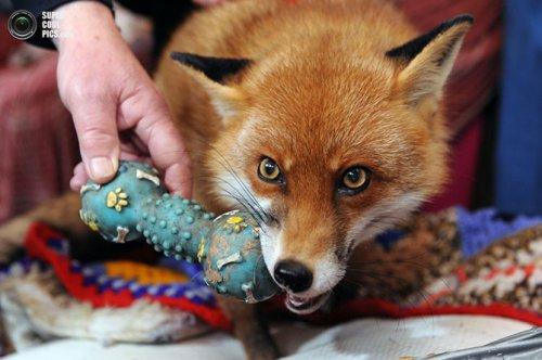 Лисица,считающая себя домашней собакой (12 фото)