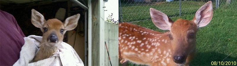 В США семейную пару судят за спасение оленёнка (2 фото)