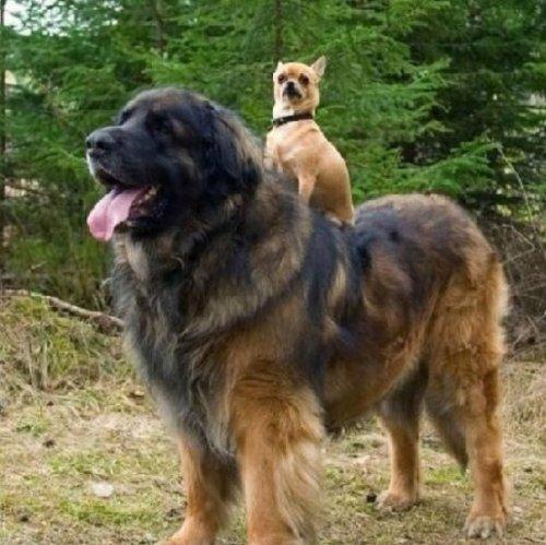 Собаки больших размеров (19 фото)