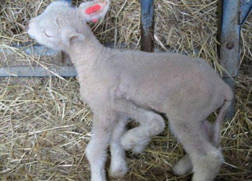 Во Франции родился необычный пятиногий ягненок  (3 фото)