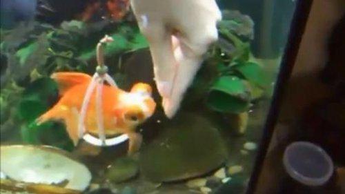 Золотая рыбка получила инвалидное кресло для аквариума