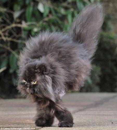 Кот-инвалид научился ходить на двух правых лапах (3 фото+видео)