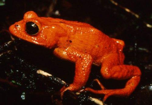 Оранжевая жаба (2 фото)