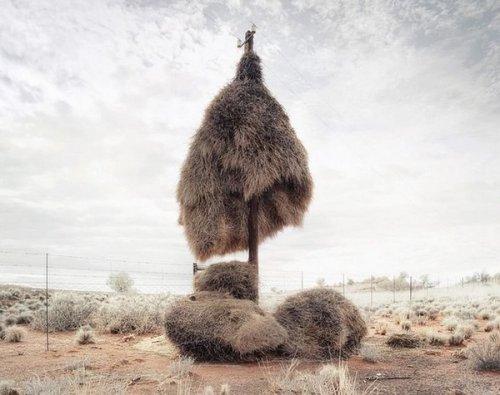 Огромные гнездовья ткачиков (11 фото)