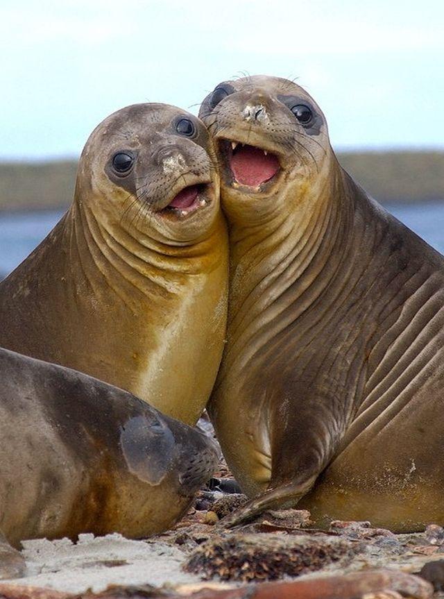 Фото тюленей смешные