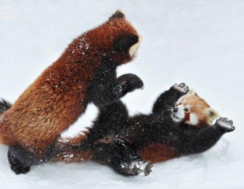 Мастер-класс по боевым искусствам от малых панд (8 фото)
