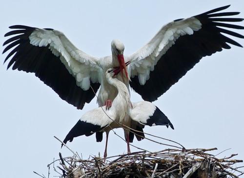 Аист-птица счастья (20 фото)