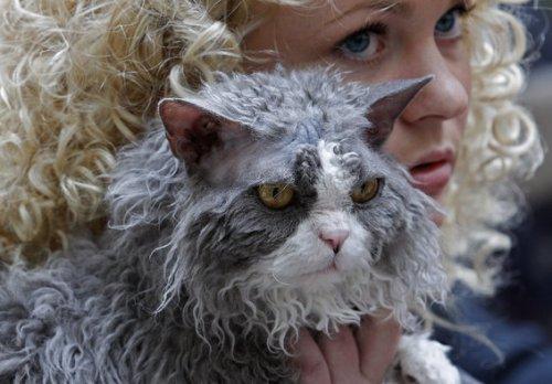 Кудрявая порода кошек (4 фото+видео)