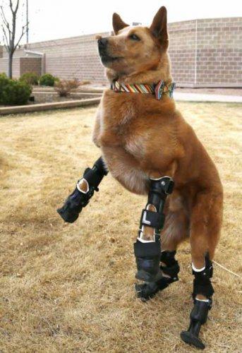 Собака научилась ходить на бионических протезах (3 фото)