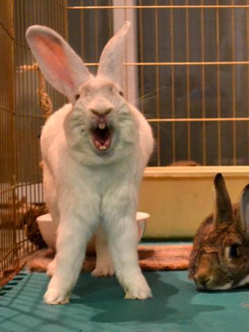 Зевающие кролики (22 фото)