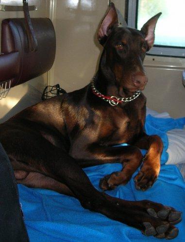 доберман собака трахц женшине любом случае, необходимо