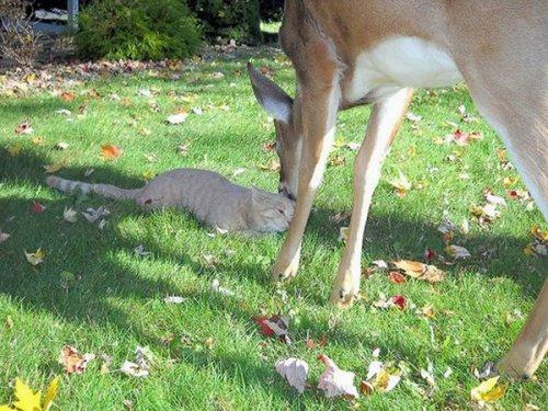 Кошка подружилась с оленёнком (6 фото)