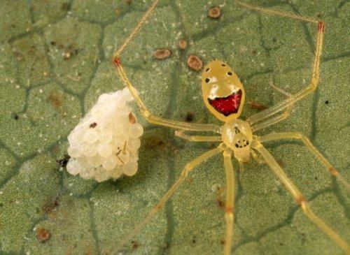 Улыбающийся паук Theridion grallator (9 фото)