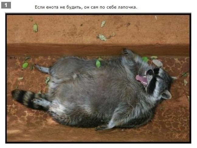 Интересные факты про енота