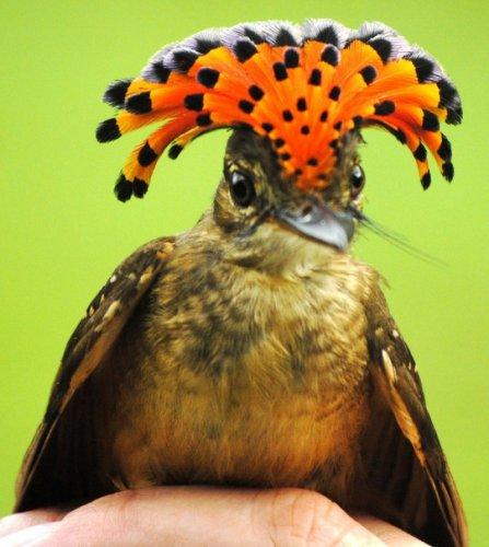 Королевская мухоловка (12 фото)