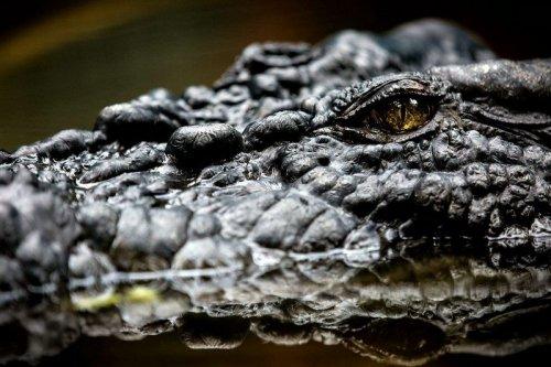 Самый большой крокодил в мире (8 фото)
