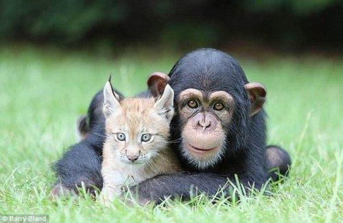 Дружба шимпанзе и рысёнка (12 фото)