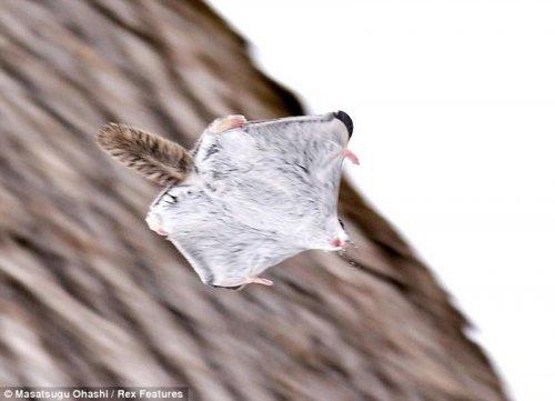 Обаятельные белки-летяги (8 фото)
