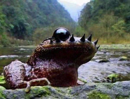 Усатая жаба дерётся усами (3 фото)