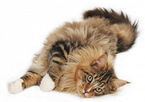 Самая большая кошка в мире (24 фото)
