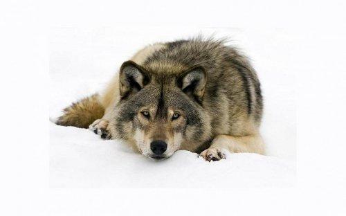 Интересные факты о сером волке (12 фото)